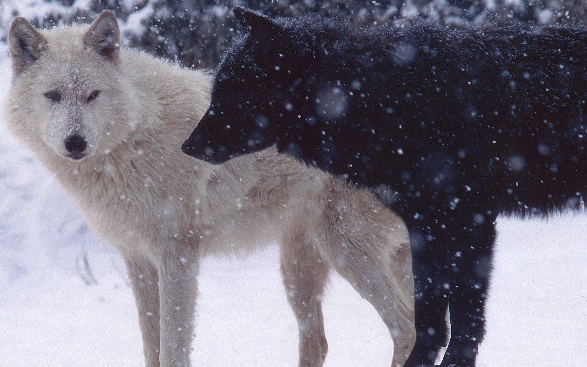 волк черный и белый картинки тысяч